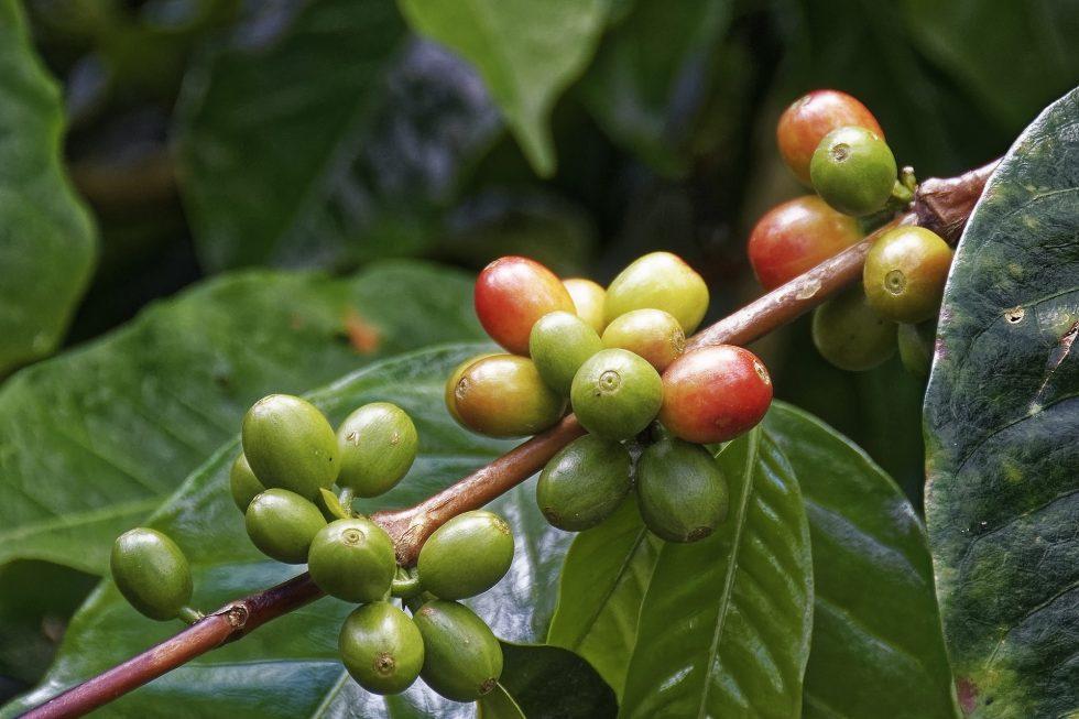 Zielona kawa – zastosowanie i właściwości